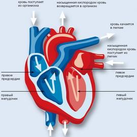 Сердечно-сосудистая система организма человека: особенности строения и функции