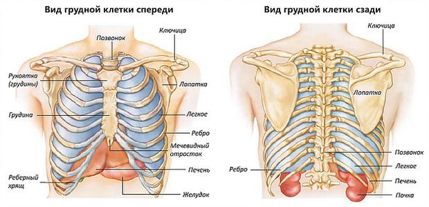 Изображение - Суставы грудной клетки 2105w-3