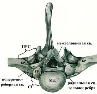 Изображение - Суставы грудной клетки 2105w-5